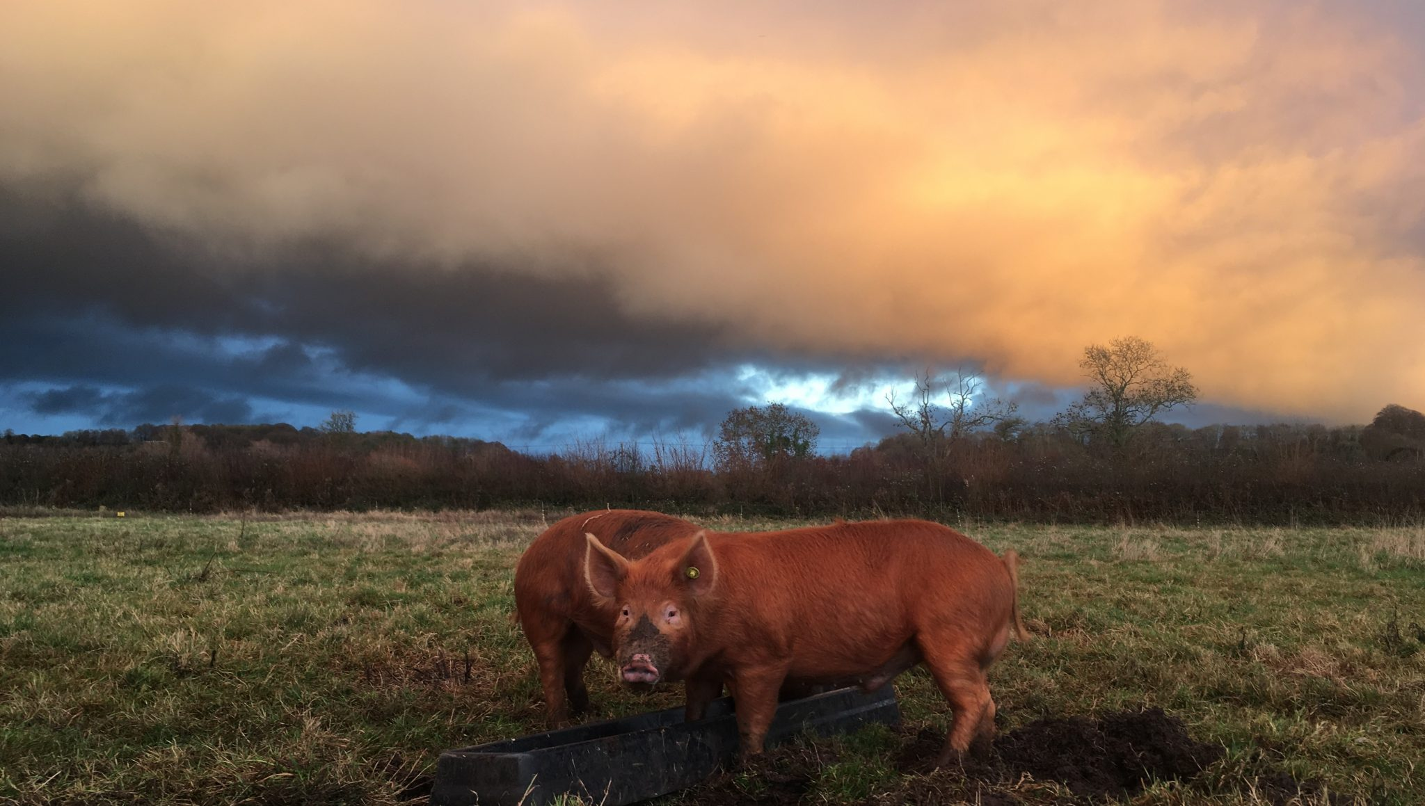 strange skies over Tamworth pigs
