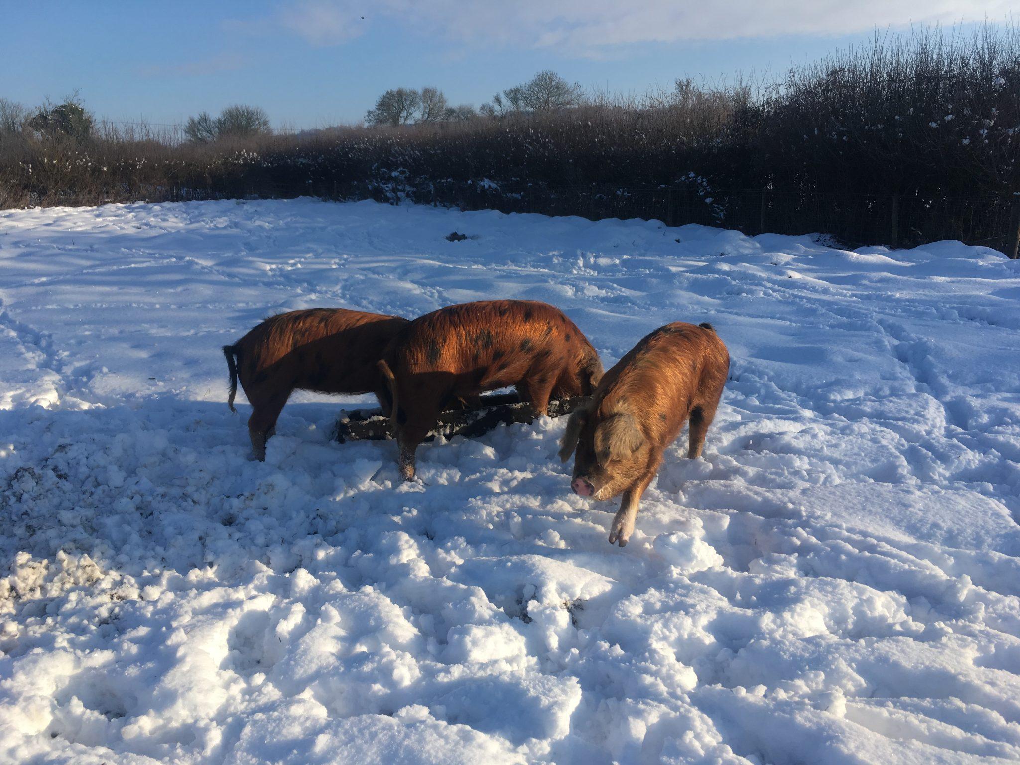 snowy osbs