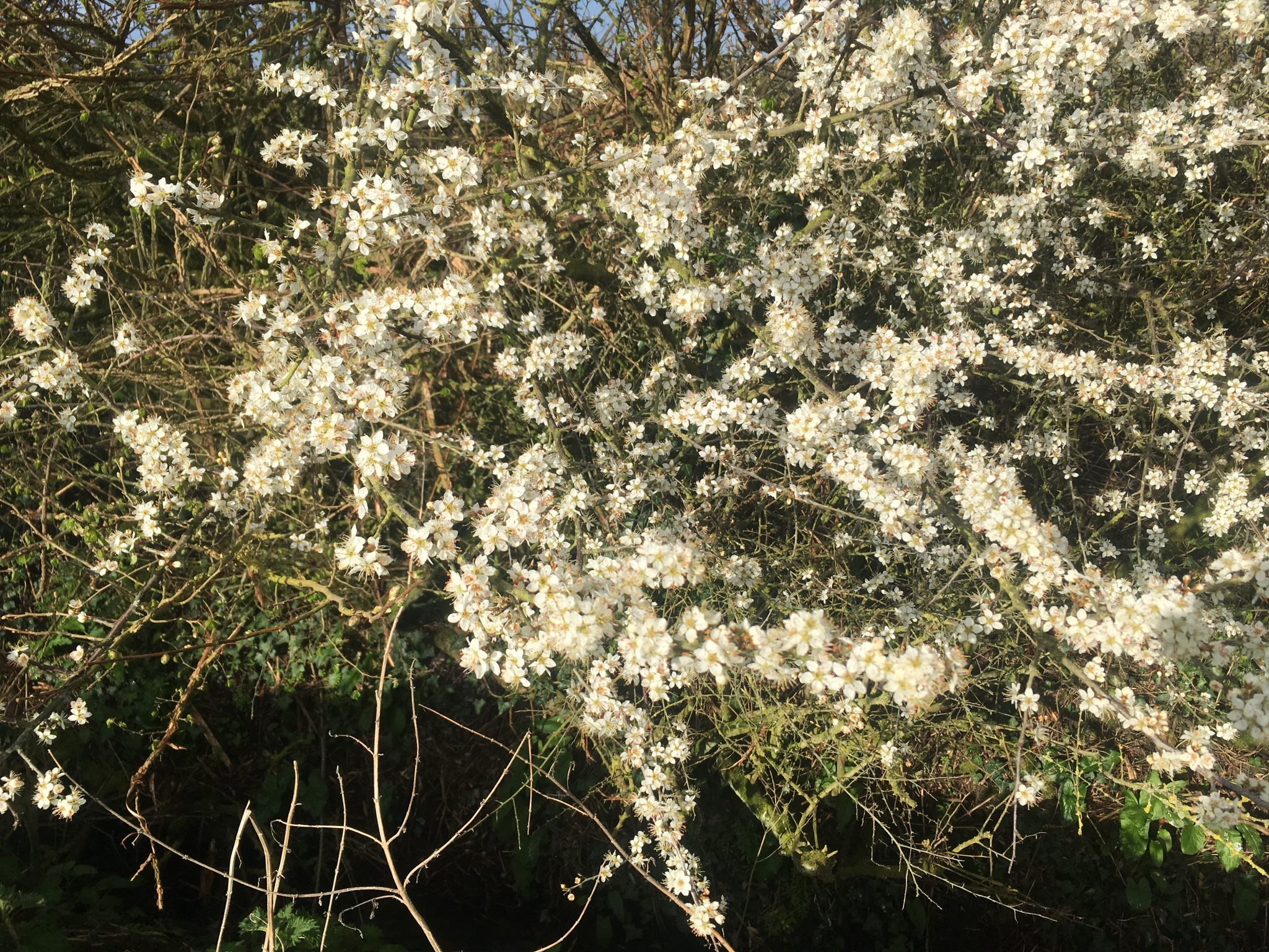 hedgerow blossom