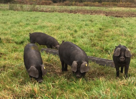 Large Black weaners
