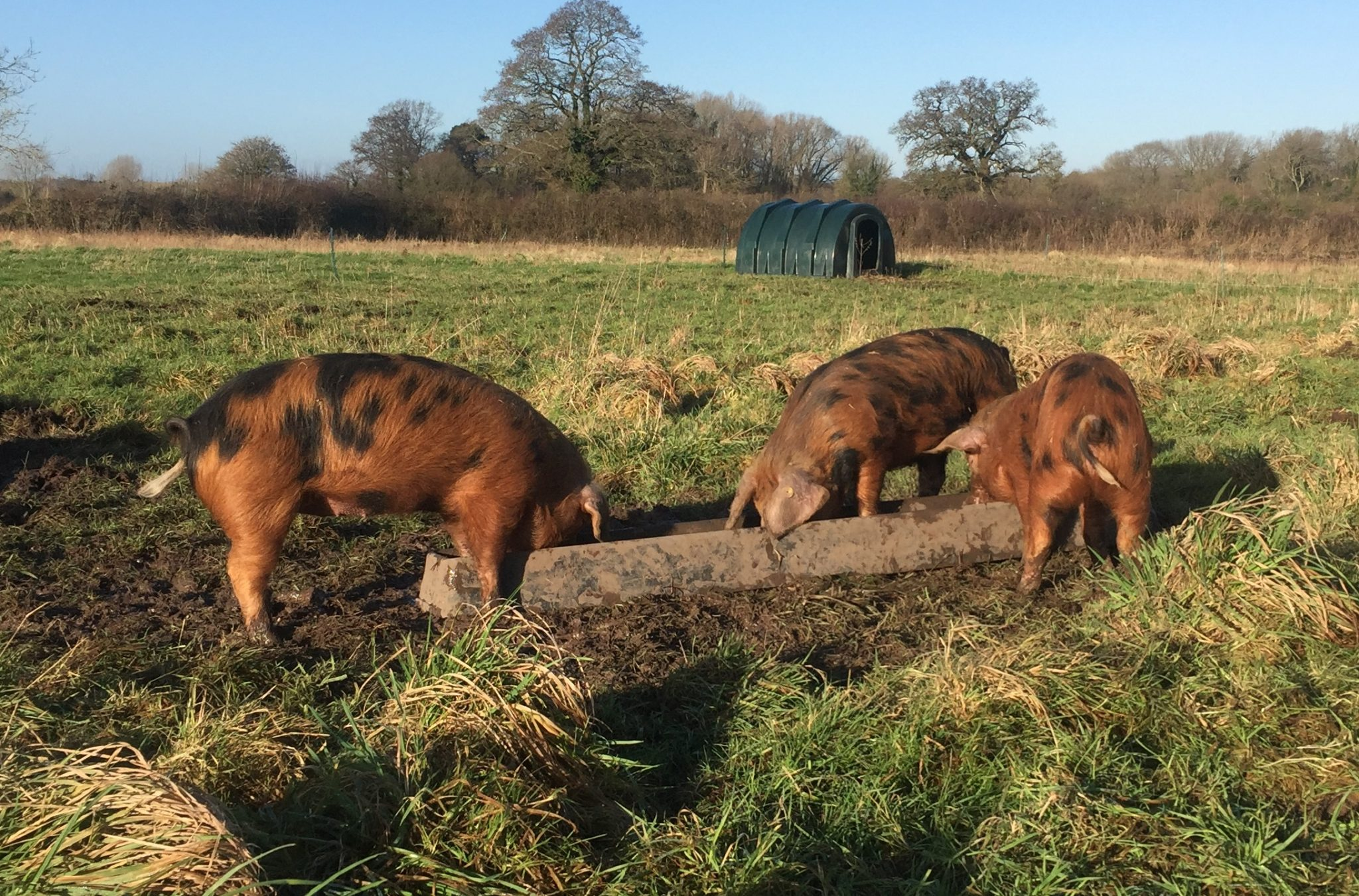 Piglets in the sun